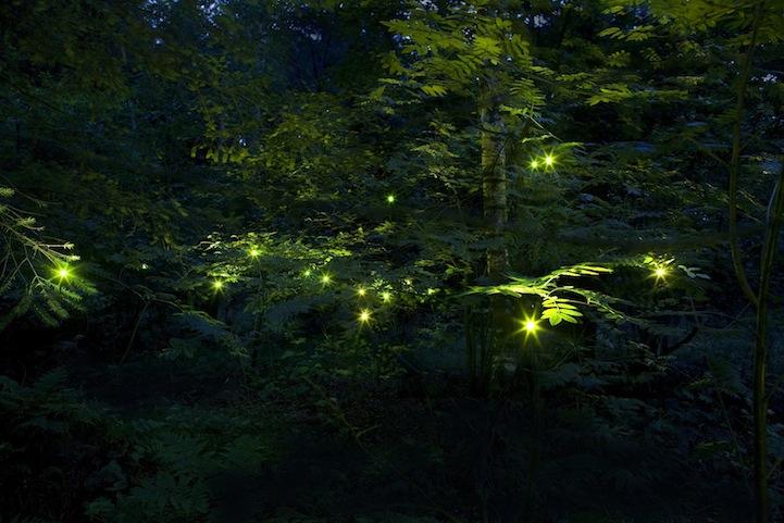 tamarfrankfireflies2
